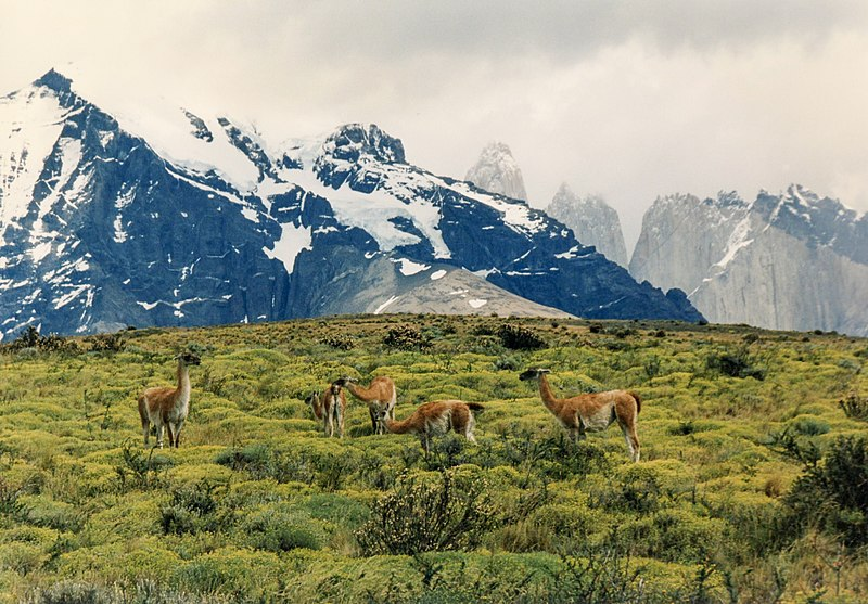 File:Guanacos, Torres del Paine.jpg