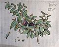 Guatteria acutiflora Dunal; branch with flowers and fruit an Wellcome V0042626.jpg