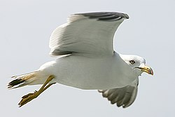 A Black-tailed Gull in flight.