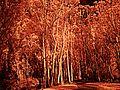 H20160203-0005—Eucalyptus globulus—Albany Hill-DxO (24507394470).jpg