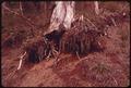 HILLSIDE EROSION EXPOSES TREE ROOTS IN OLYMPIC NATIONAL TIMBERLAND, WASHINGTON. NEAR OLYMPIC NATIONAL PARK - NARA - 555205.tif