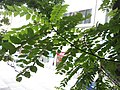 HK 灣仔 Wan Chai 皇后大道東 Queen's Road East tree green leaves October 2017 IX1 格木 Erythrophleum fordii 05.jpg