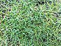 HK 香港 中山紀念公園 Sun Yat Sen Memorial Park 草皮 03 Lawn grass May-2012.jpg