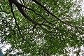 HK Shek Tong Tsui 中西區 Western District 豐物道 Fung Mat Road tree 欖仁樹 Terminalia mantaly April 2018 IX2 04.jpg