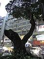 HK TST Hanoi Road near K11 凱悅酒店 Hyatt Regency night tree.JPG