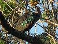 Hadada ibis Bostrychia hagedash Tanzania 0195 cropped Nevit.jpg