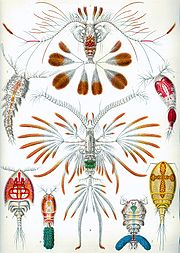 Copepods from Ernst Haeckel's Kunstformen der Natur