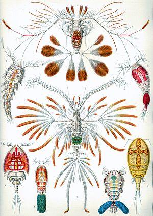 Crustacean - Copepods, from Ernst Haeckel's 1904 work Kunstformen der Natur