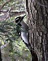 Hairy Woodpecker Profile, Visible Conifer 01.jpg