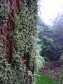 Hairy tree at Mt Tomah Botanic Garden.jpg