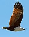Haliastur indus -Karratha, Pilbara, Western Australia, Australia -flying-8 (1).jpg