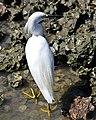 Harborside Snowy Egret (6208824129).jpg