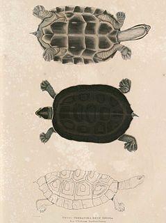 Brahminy river turtle