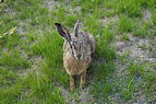 Hare in Solna, Sweden 2014 04.JPG