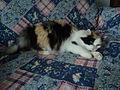 Harlequin patterned bicolor cats 6.JPG