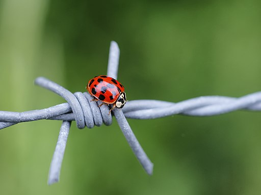 Harlequin ladybird on the wire