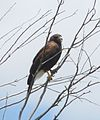 Harris's Hawk (17945333143).jpg