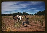 Harvesting new corn from the field of Jim Norris 1a34139v.jpg