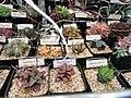Haworthia and Gasteria specimens - University of California Botanical Garden - DSC08857.JPG