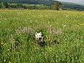 Hay Meadow Askrigg Bottoms - geograph.org.uk - 231216.jpg