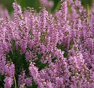 Great Britain - Heather growing wild in the Highlands at Dornoch.