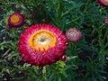 Helichrysum bracteatum (Garten-Strohblume)-3.JPG