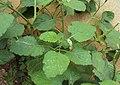 Heliotropium indicum 01.JPG