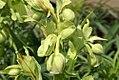 Helleborus foetidus 2zz.jpg