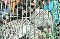 Helmeted Guineafowl at Souq Sayeda Aicha by Hatem Moushir 1.JPG