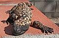 Heloderma suspectum -Arizona-Sonora Desert Museum-8b.jpg