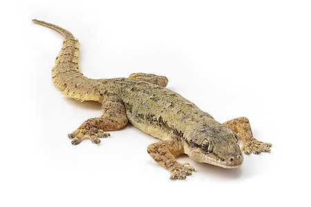 Hemidactylus frenatus (Common House Gecko) on white background, in Laos. Focus stacking from 20 pictures shot in studio.