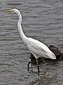 Henry Egret the Great Egret at Shorncliffe-08 (6846211890).jpg