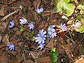 Hepatica nobilis004.jpg