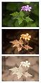 Herb Robert Geranium robertianum Spectral Comparison Vis UV IR.jpg