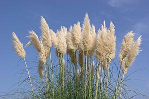 Cortaderia selloana - Pampas grass inflorescences