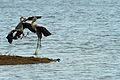 Heron fight - Rutland Water (11368434133).jpg