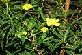 Hibbertia cuneifolia fg01.JPG