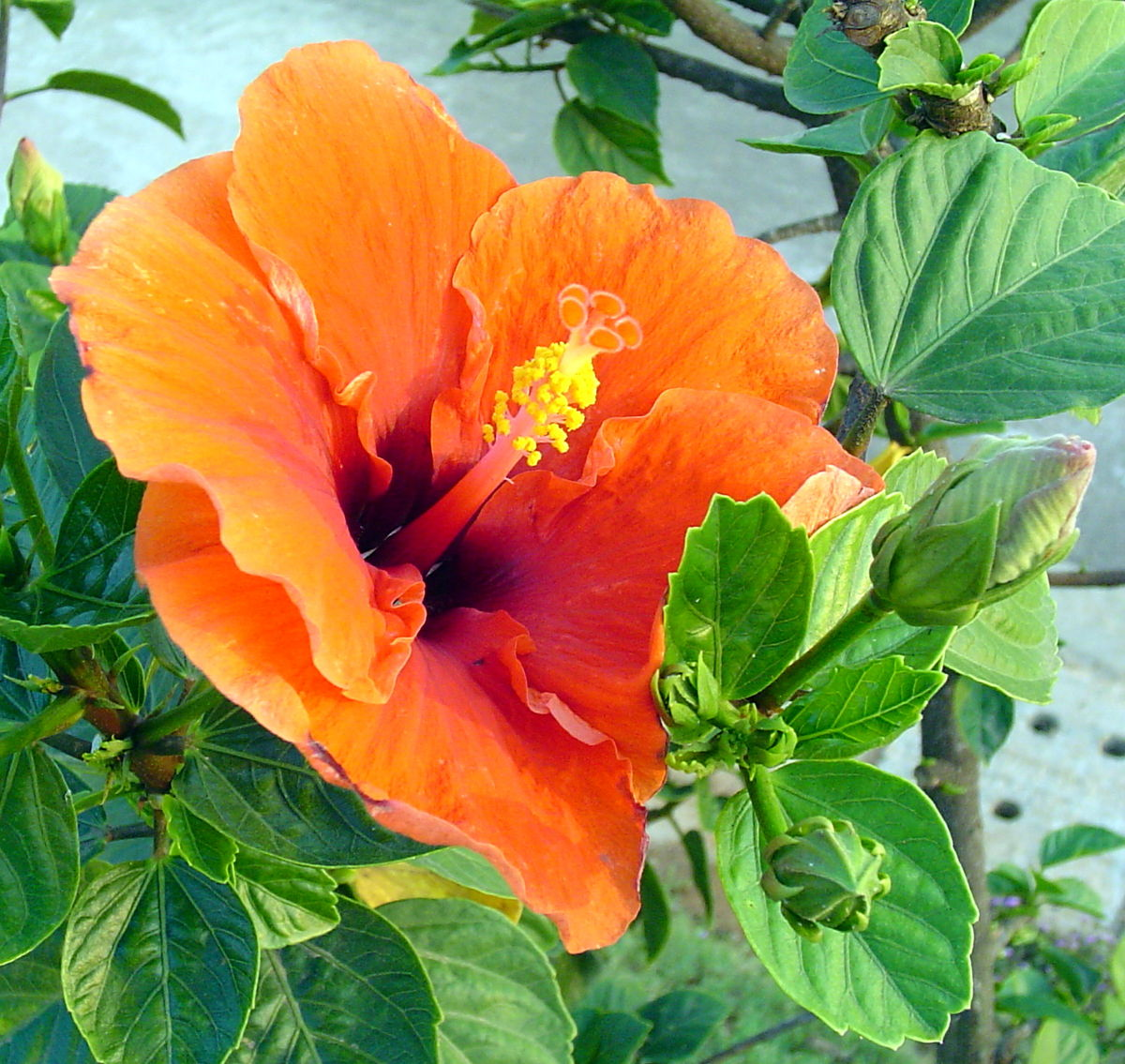 Hibiscus wikipedia la enciclopedia libre for Hibiscus arbol