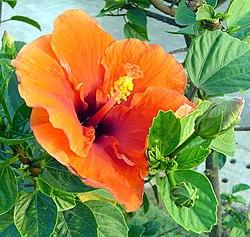 Hibiscus Wikipedia La Enciclopedia Libre