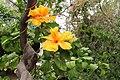 Hibiscus rosa- sinensis China Hibiscus ყვითელი ჩინური ვარდი.JPG