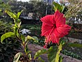 Hibiscus rosa-sinensis 30.jpg