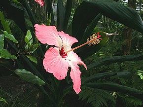 Hibiscus storckii wikip dia - Comment entretenir un hibiscus ...