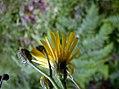Hieracium laevigatum inflorescence (04).jpg