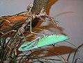 Hierodula membranacea - Wilhelma.jpg