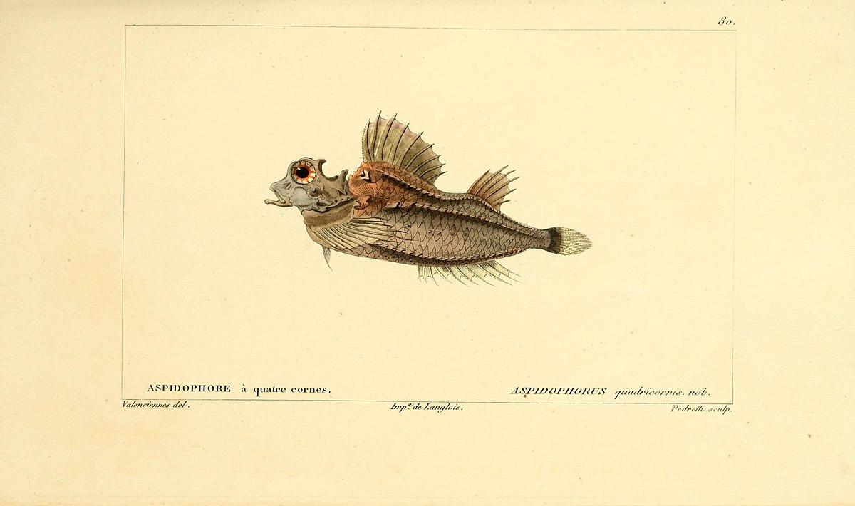 Hypsagonus quadricornis wikipedia for Histoire des jardins wikipedia
