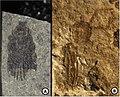 Holcoptera schlotheimi complete specimens(A) NHMUK I.11085, (B) NHMUK I.6682.jpg