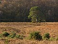 Holmsley Bog, New Forest - geograph.org.uk - 624560.jpg