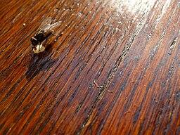 Holztisch mit Stubenfliege
