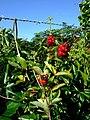 Honeysuckle berries - geograph.org.uk - 934245.jpg