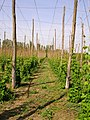 Hop garden, Syndale Bottom - geograph.org.uk - 169472.jpg
